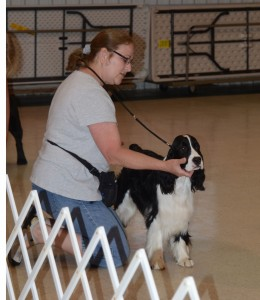 Conformation practice with an English springer spaniel