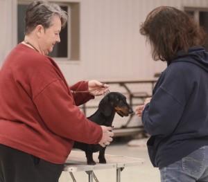 Conformation training - Judge examining a Dachshund